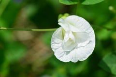 Άσπρο λουλούδι μπιζελιών πεταλούδων Στοκ εικόνα με δικαίωμα ελεύθερης χρήσης