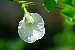 Άσπρο λουλούδι μπιζελιών πεταλούδων Στοκ Εικόνες