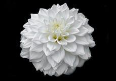 Άσπρο λουλούδι νταλιών με τον οφθαλμό, πέταλα σχεδίων, μαύρο υπόβαθρο, στοκ φωτογραφίες