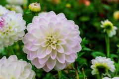 Άσπρο λουλούδι νταλιών σφαιρών στις σταγόνες βροχής Στοκ φωτογραφία με δικαίωμα ελεύθερης χρήσης