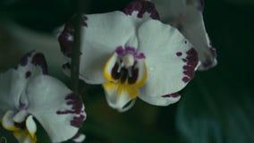 Άσπρο λουλούδι ορχιδεών απόθεμα βίντεο