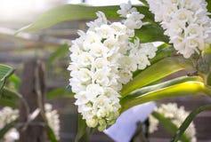 Άσπρο λουλούδι ορχιδεών gigantea rhynchostylis Στοκ Φωτογραφία