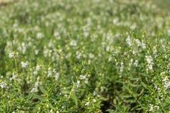 Άσπρο λουλούδι που ανθίζει στον κήπο Στοκ φωτογραφία με δικαίωμα ελεύθερης χρήσης