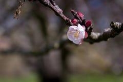 Άσπρο λουλούδι ροδάκινων στο πάρκο Στοκ εικόνες με δικαίωμα ελεύθερης χρήσης