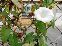 Άσπρο λουλούδι σε έναν φράκτη στοκ φωτογραφία με δικαίωμα ελεύθερης χρήσης