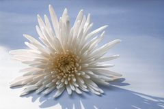 Άσπρο λουλούδι στην μπλε ανασκόπηση Στοκ φωτογραφία με δικαίωμα ελεύθερης χρήσης