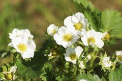Άσπρο λουλούδι στον κήπο Στοκ Εικόνες