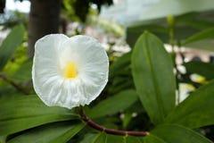 Άσπρο λουλούδι στον κήπο Στοκ Φωτογραφία