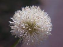 Άσπρο λουλούδι σφαιρών Στοκ εικόνα με δικαίωμα ελεύθερης χρήσης