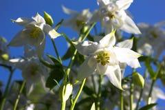 Άσπρο λουλούδι του ευρωπαϊκού columbine aquilegia vulgaris κλείστε επάνω Στοκ εικόνες με δικαίωμα ελεύθερης χρήσης