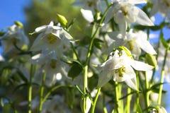Άσπρο λουλούδι του ευρωπαϊκού columbine aquilegia vulgaris κλείστε επάνω Στοκ Εικόνες