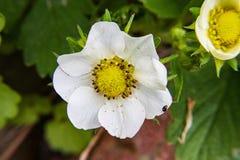 Άσπρο λουλούδι φραουλών στοκ εικόνα με δικαίωμα ελεύθερης χρήσης