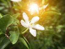 Άσπρο λουλούδι antidysenterica Wrightia Στοκ φωτογραφία με δικαίωμα ελεύθερης χρήσης