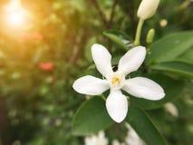 Άσπρο λουλούδι antidysenterica Wrightia Στοκ Εικόνες