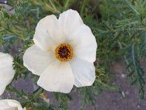 άσπρο λουλούδι chicalote στον τομέα Στοκ Εικόνα