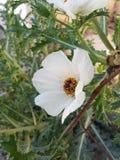 άσπρο λουλούδι chicalote στον τομέα Στοκ Φωτογραφία