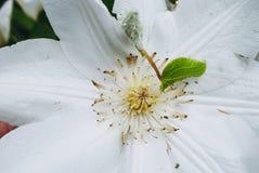 Άσπρο λουλούδι clematis Τέλειο όμορφο λουλούδι Clematis στοκ φωτογραφία με δικαίωμα ελεύθερης χρήσης
