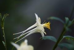 Άσπρο λουλούδι Columbine με το σκοτεινό υπόβαθρο Στοκ Εικόνα