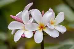 Άσπρο λουλούδι Frangipani στην πλήρη άνθιση κατά τη διάρκεια του καλοκαιριού μετά από τη βροχή Άσπρο Plumeria, Ταϊλάνδη Στοκ Φωτογραφία