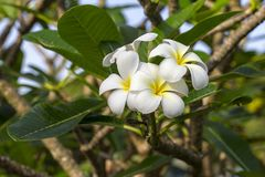 Άσπρο λουλούδι Frangipani στην πλήρη άνθιση κατά τη διάρκεια του καλοκαιριού Άσπρο Plumeria, Ταϊλάνδη, Στοκ Εικόνα