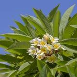 Άσπρο λουλούδι Frangipani στην πλήρη άνθιση κατά τη διάρκεια του καλοκαιριού και των πράσινων φύλλων Δέντρο Plumeria και μπλε ουρ Στοκ Εικόνες
