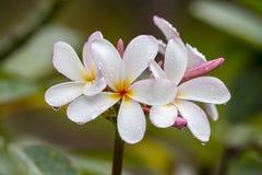 Άσπρο λουλούδι Frangipani στην πλήρη άνθιση κατά τη διάρκεια του καλοκαιριού μετά από τη βροχή Άσπρο Plumeria, Ταϊλάνδη Στοκ φωτογραφία με δικαίωμα ελεύθερης χρήσης