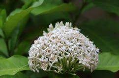 Άσπρο λουλούδι ixora στο δέντρο Η των Αντιλλών Jasmine τα φυτά κατέχει τα δερματοειδή φύλλα, που κυμαίνονται από 3 έως 6 ίντσες σ στοκ φωτογραφίες με δικαίωμα ελεύθερης χρήσης