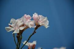 Άσπρο λουλούδι oleander στη θερινή άνθιση Στοκ φωτογραφία με δικαίωμα ελεύθερης χρήσης