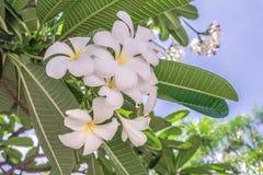 Άσπρο λουλούδι Plumeria κινηματογραφήσεων σε πρώτο πλάνο λουλουδιών Στοκ Εικόνα