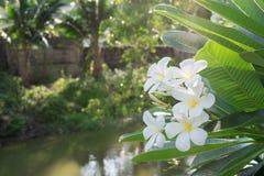 Άσπρο λουλούδι Plumeria κινηματογραφήσεων σε πρώτο πλάνο λουλουδιών Στοκ Εικόνες