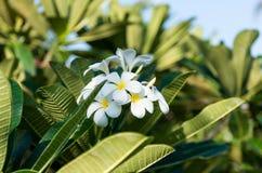 Άσπρο λουλούδι plumeria λουλουδιών frangipani τροπικό Στοκ φωτογραφία με δικαίωμα ελεύθερης χρήσης