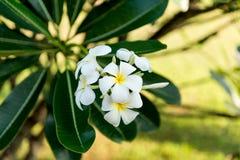 Άσπρο λουλούδι plumeria λουλουδιών frangipani τροπικό Στοκ Φωτογραφίες