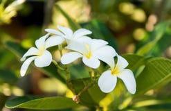 Άσπρο λουλούδι plumeria λουλουδιών frangipani τροπικό Στοκ Εικόνες