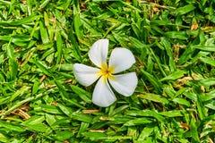 Άσπρο λουλούδι Plumeria στη χλόη Στοκ Φωτογραφίες