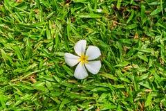Άσπρο λουλούδι Plumeria στη χλόη Στοκ Φωτογραφία