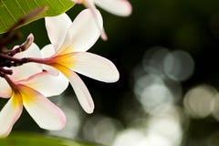 Άσπρο λουλούδι plumeria στο δέντρο plumeria, frangipani τροπικό Στοκ Εικόνα