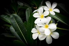 Άσπρο λουλούδι Plumeria λουλούδι τροπικό Γλυκό άρωμα Στοκ Φωτογραφίες