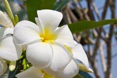 Άσπρο λουλούδι plumeria Στοκ εικόνα με δικαίωμα ελεύθερης χρήσης