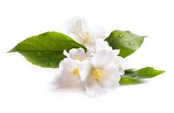 Άσπρο λουλούδι της Jasmine που απομονώνεται στην άσπρη ανασκόπηση Στοκ Εικόνα