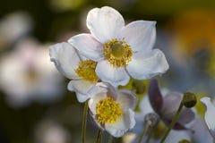Άσπρο ΛΦ anemone owers Στοκ εικόνα με δικαίωμα ελεύθερης χρήσης