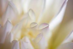 Άσπρο μακρο πλάνο νταλιών Στοκ εικόνα με δικαίωμα ελεύθερης χρήσης