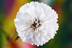 Άσπρο μακρο gypsophila λουλουδιών στοκ φωτογραφία με δικαίωμα ελεύθερης χρήσης