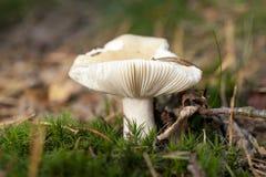Άσπρο μανιτάρι στο δάσος στο φθινόπωρο Στοκ φωτογραφία με δικαίωμα ελεύθερης χρήσης