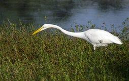 Άσπρο μεγάλο long-legged wading πουλί τσικνιάδων Στοκ Φωτογραφία