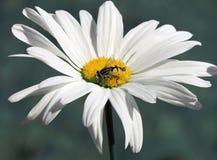 Άσπρο μεγάλο λουλούδι της Daisy με τα πέταλα Στοκ φωτογραφία με δικαίωμα ελεύθερης χρήσης