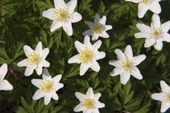 Άσπρο με φύλλα ξύλινο anemone Στοκ Εικόνες