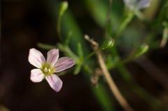Άσπρο μικρό λουλούδι λιβαδιών πέντε-πετάλων με τις πορφυρές φλέβες Μακρο φωτογραφία κινηματογραφήσεων σε πρώτο πλάνο στοκ φωτογραφίες με δικαίωμα ελεύθερης χρήσης