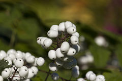 Άσπρο μούρο Στοκ Φωτογραφίες