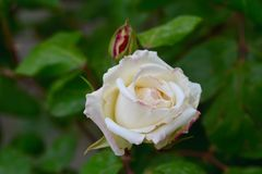 Άσπρο μπουμπούκι τριαντάφυλλου στον κήπο Στοκ Εικόνες