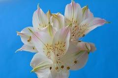 Άσπρο μπλε υπόβαθρο λουλουδιών ανθών Στοκ φωτογραφίες με δικαίωμα ελεύθερης χρήσης